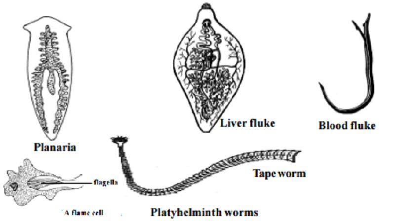 ce provoacă paraziți în stomacul uman simptome de giardie și helminți