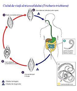 Mâncărime de helmint în anus, Uită-te la rădăcină