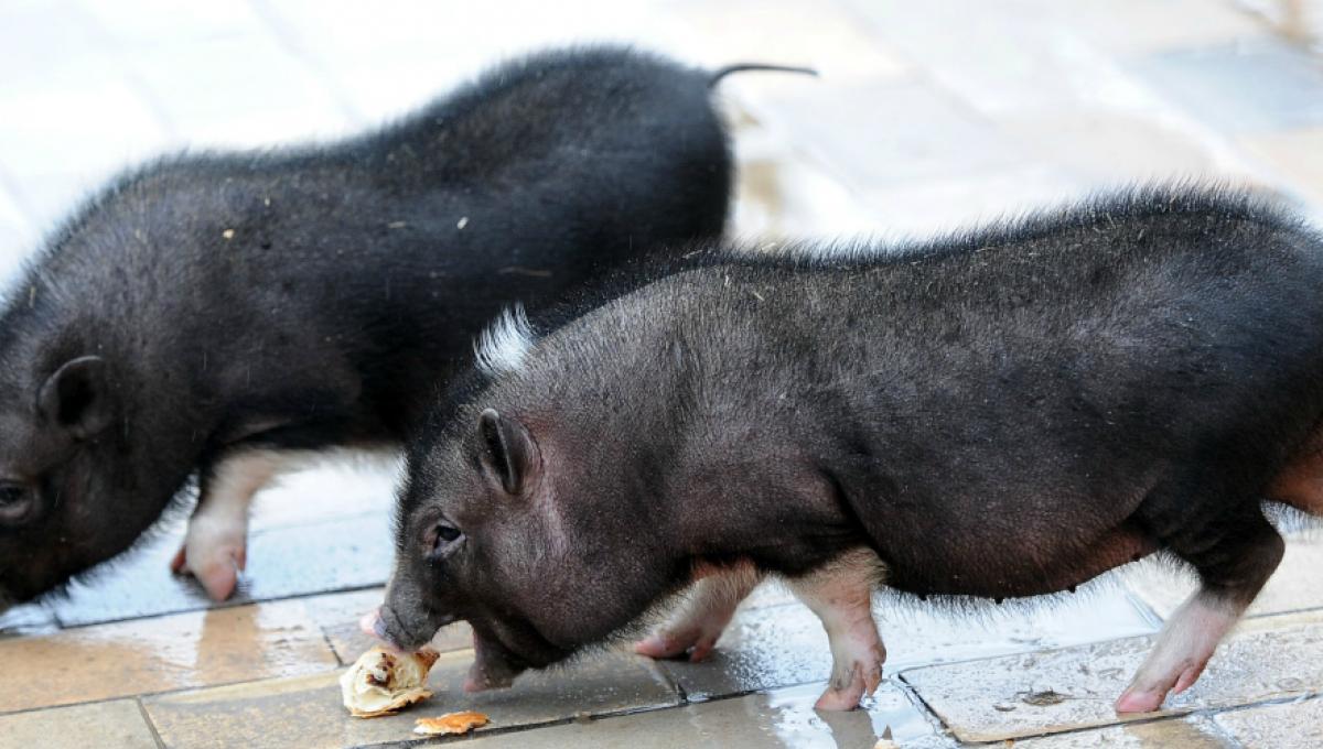 Venin de porc porcine. Histricide - Wikipedia