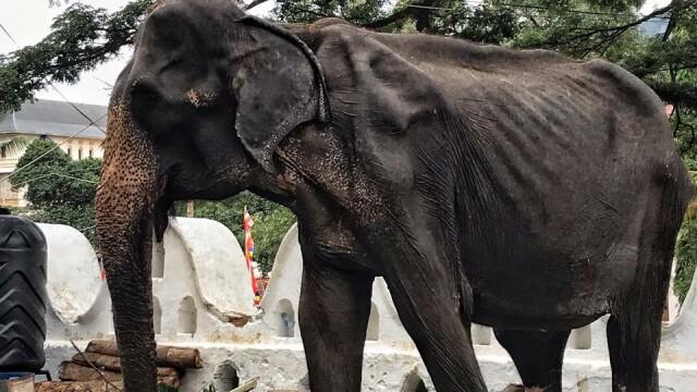 vierme de elefant negi pe mamelonul sânului