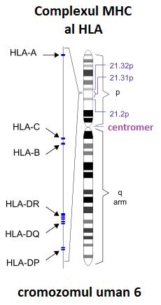 ce viermi sunt în cromozomul uman)